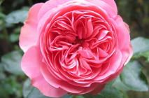 Rose-of-Leonardo-da-Vinci2