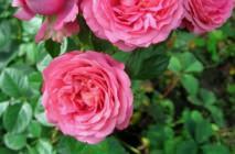 Rose-of-Leonardo-da-Vinci23