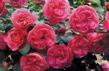 Rose-of-Leonardo-da-Vinci4