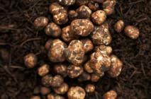 truffle11