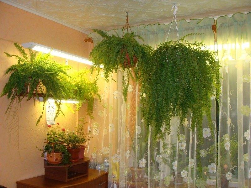 Венерин волос цветок уход в домашних условиях