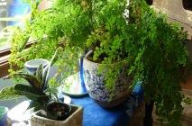 maidenhair11