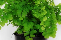 maidenhair13