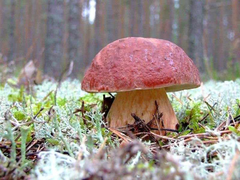 Прием белого гриба