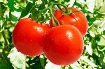 tomato-6