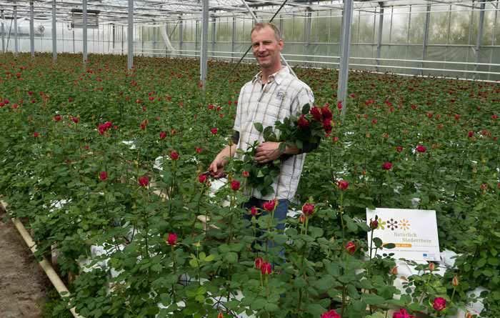 План выращивания розы заключается в заботливом уходе за растением. Обязательно следует учесть такие требования: высокое и просторное строение, дополнительное освещение и возможность затенения, дополнительный обогрев почвы, хорошая вентиляция воздуха