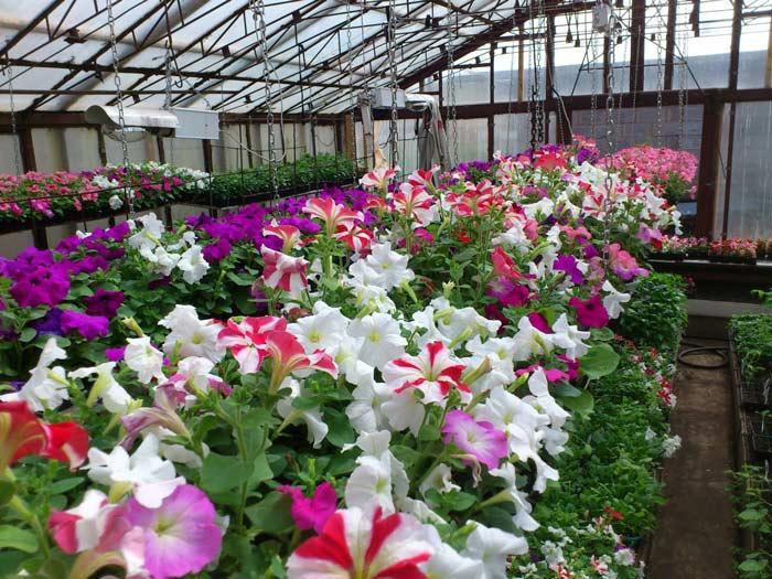 В теплице часто выращивают гибридные петунии. Цветы неприхотливы и выглядят красиво, помимо прочего, они имеют низкую себестоимость и высокую розничную цену