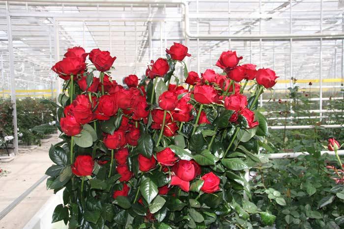 Выращивать в теплице можно декоративные цветы или садовые растения, которые активно используются для составления букетов