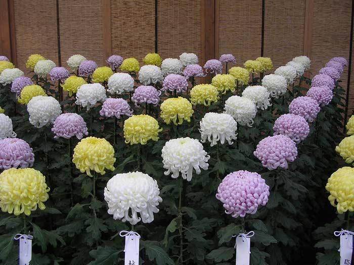 Срезку хризантем и других цветов следует вести только после того, как соцветия распустились или начали распускаться