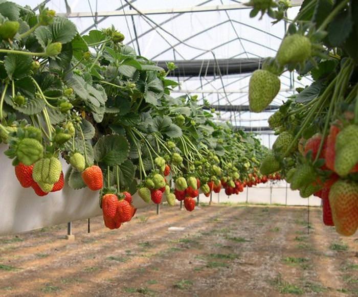 Выращивание клубники по голландской технологии предполагает культивирование ягоды в закрытом грунте