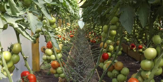 Самая ранняя уборка тепличных томатов предполагает использование скороспелых и ультраскороспелых сортов