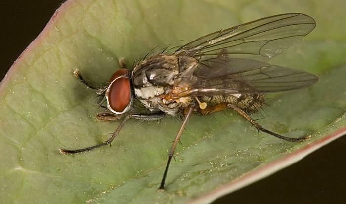 Луковая муха достигает 6 мм в длину