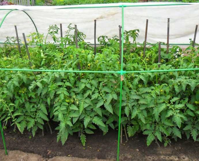 Детерминантные помидоры перестают расти после того, как завязываются 4 кисти