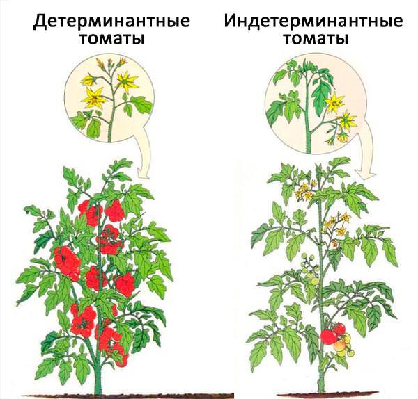 Индетерминантные (высокорослые) виды отличаются от детерминантных тем, что растут неограниченно, поэтому отлично подходят для выращивания в теплице