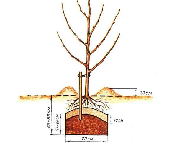 Высаживать абрикос «Фаворит» лучше всего ранней весной, в начале апреля, но допускается и осенняя посадка – в октябре