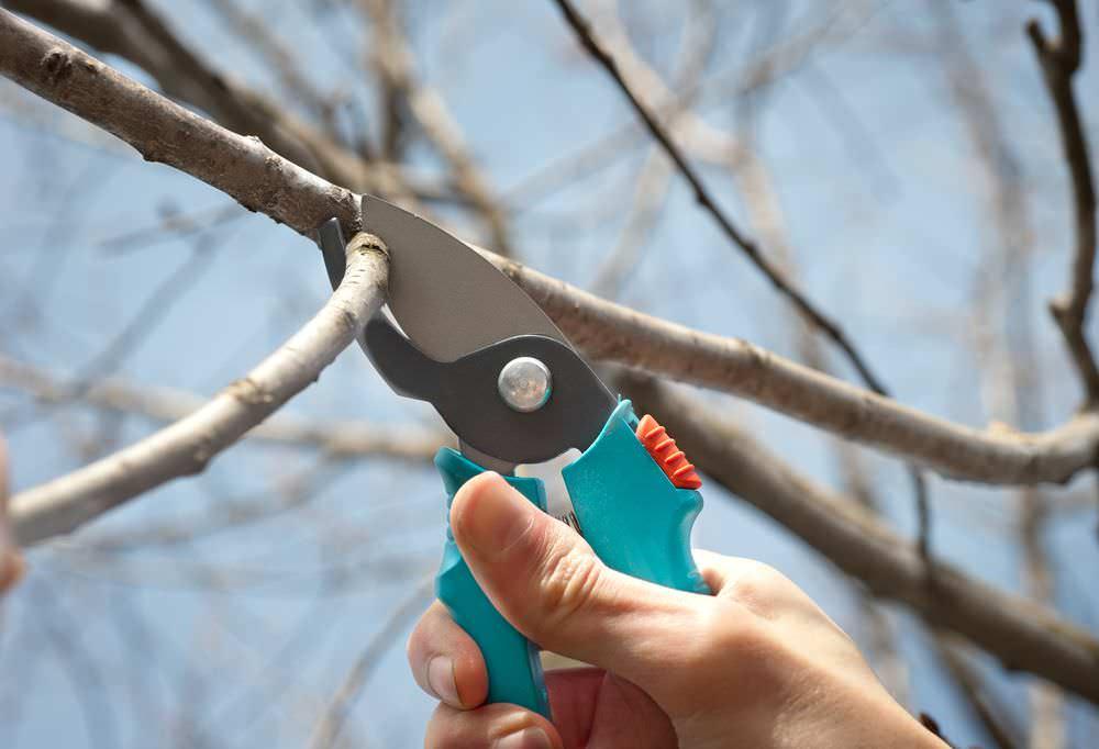 Культивирование груши под названием «Августовская роса» предполагает своевременную обрезку и грамотное формирование кроны растения