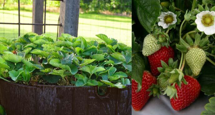 Чтобы вырастить здоровую клубнику в бочках, необходимо правильно подобрать сорт