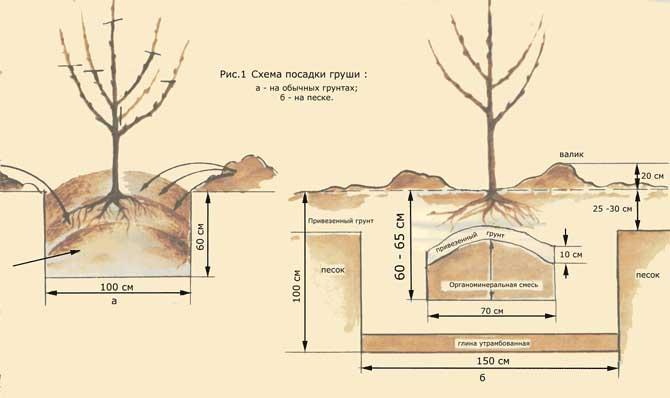Высаживать грушу сорта «Августовская роса» можно как весной, так и осенью