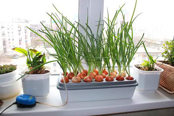 В домашних условиях для выращивания лука хорошо показывает себя такая установка, как «Чудорост»