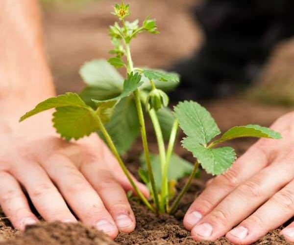 Высаживать клубнику Дарселект в грунт лучше всего по осени, тогда вероятность ее плодоношения весной выше и оно будет обильнее
