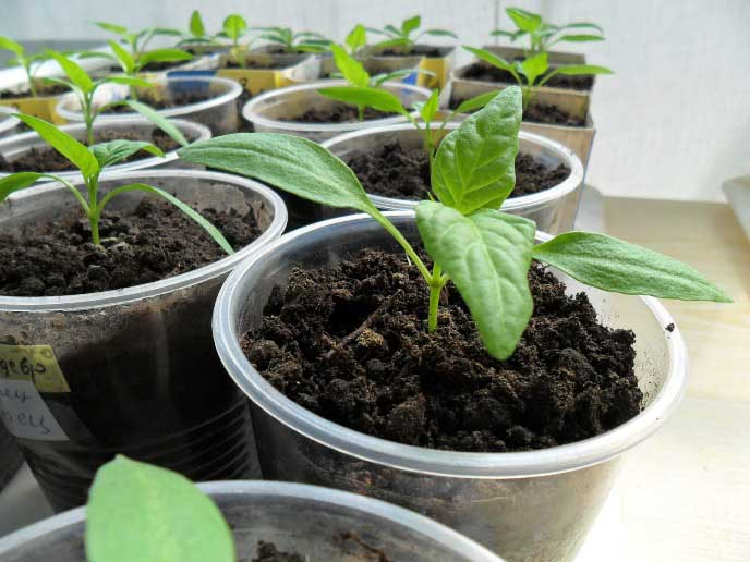 Необходимо приобретать рассадный материал в проверенных и ответственных питомниках
