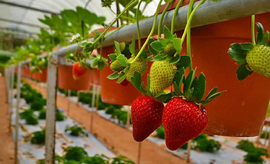 При культивировании тепличной садовой земляники наиболее важные факторы представлены показателями продолжительности светового дня и параметрами интенсивности освещения