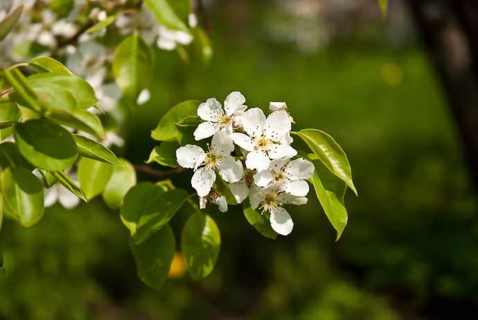Сорт Чижовская высоко ценится за хорошие показатели зимостойкости, скороплодность и товарный внешний вид урожая