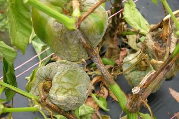 Тепличные перцы подвергаются поражениям болезнями и атакам растительных паразитов