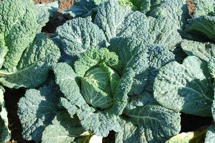 Савойскую капусту стоит начать выращивать, потому что она имеет более нежный вкус по сравнению с белокочанной, и витаминов в ней намного больше