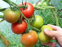 В теплице созревание помидор можно сделать быстрым различными методами