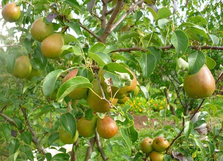 Средняя урожайность одного взрослого продуктивного дерева груши Чижовская при соблюдении агротехники составляет порядка 48−52 кг