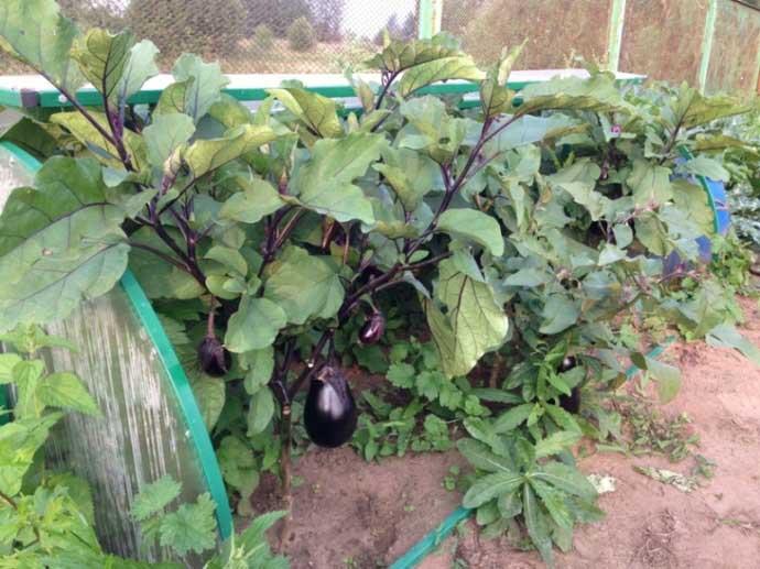 Арочная крыша «Улитки» удобно открывается и позволяет облегчить обслуживание выращиваемых овощных и ягодных культур