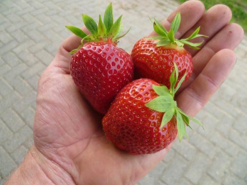 Положительные отзывы клубника Дарселект получает за крупные ягоды с отменными вкусовыми характеристиками и приятным ароматом