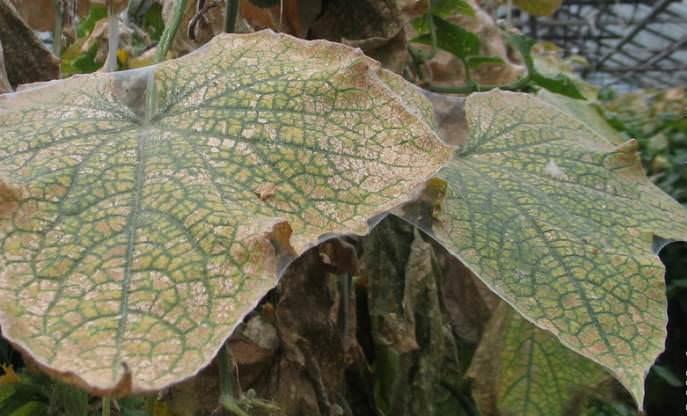 Листья огурцов обрастают паутиной, по которой и перемещается клещ