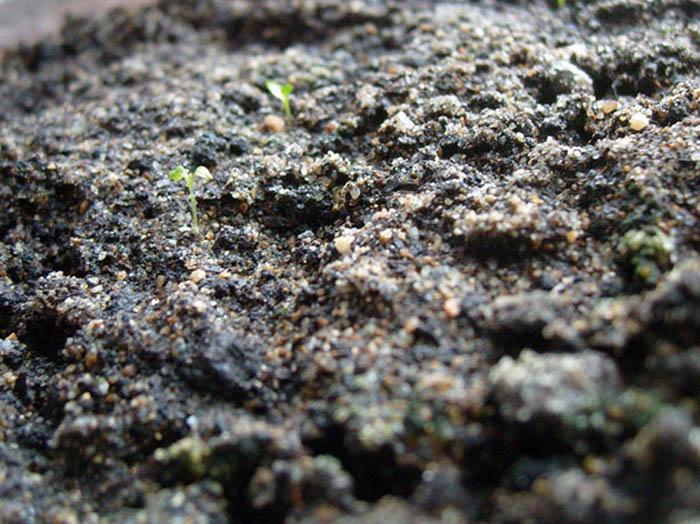 Выращивание эустомы в домашних условиях – занятие кропотливое и требующее времени. Однако для тех, кто освоит этот процесс, он может стать очень прибыльным делом, поскольку эустома становится все популярней и как садовый цветок, и как горшечная культура