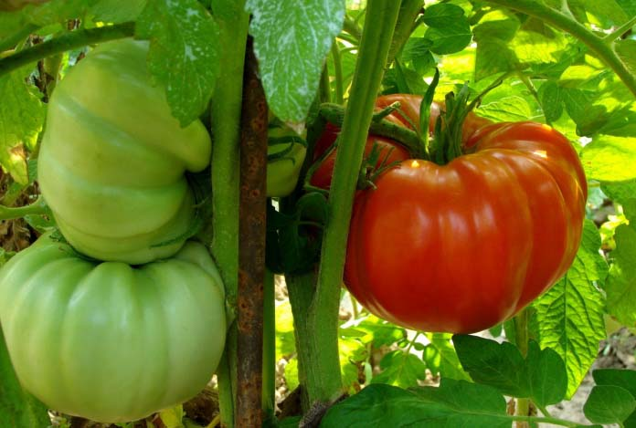 Наличие крупных бурых плодов на ветках тормозит созревание остальных томатов