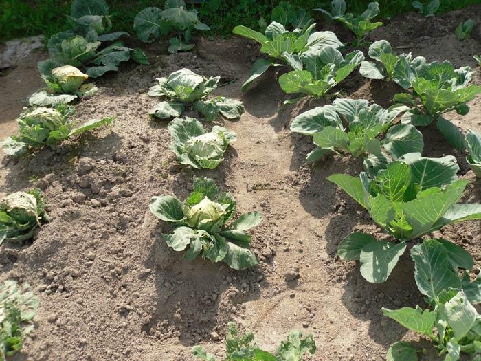 Чтобы вырастить капусту, нужно поливать ее и вносить подкормки, а еще необходимо  обезопасить культуру от вредителей и инфекций