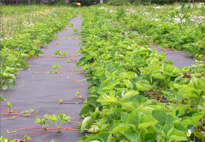 Нетканый материал для предотвращения роста сорняков на грядках зарекомендовал себя как самый дешевый и не затратный по силе метод