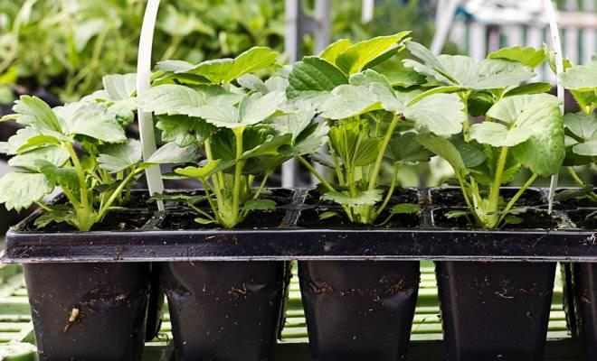 Качественная рассада садовой крупноплодной земляники имеет здоровый внешний вид