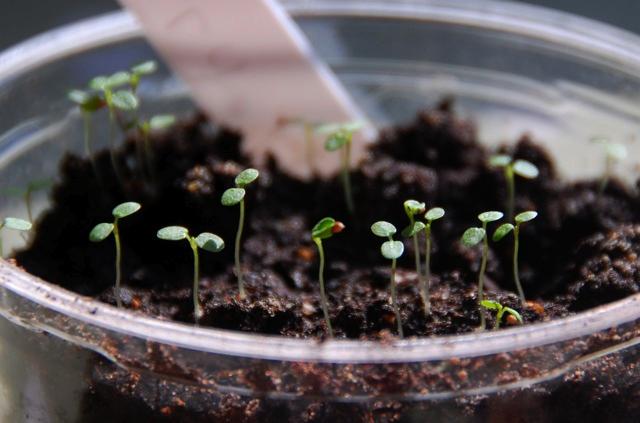 Сеянцы сорта «Гигантелла» при соблюдении технологии посева и оптимальных микроклиматических условиях появляются примерно через три или четыре недели