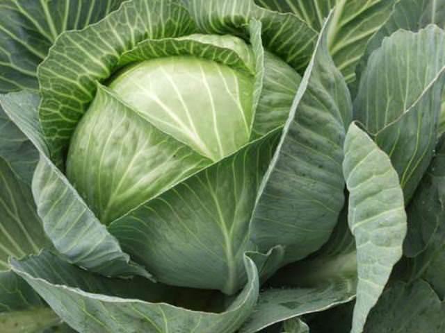В первые числа мая рекомендуется осуществлять посадку капусты белокочанной