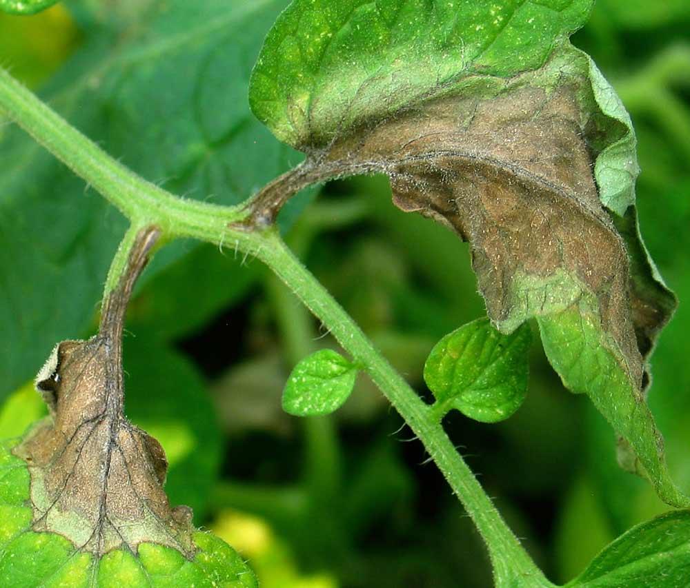 Поражению фитофторой подлежат не только плоды и листья томатов, но и стеблевая часть растения