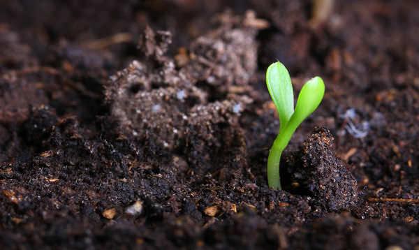 Систематическая замена грунта в теплице увеличивает процент всхожести и урожайности в несколько раз