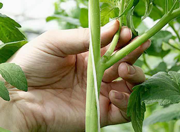 Чтобы помидоры не были зелеными, можно удалить пасынки и нижние листья до кистей, на которых уже созревают плоды
