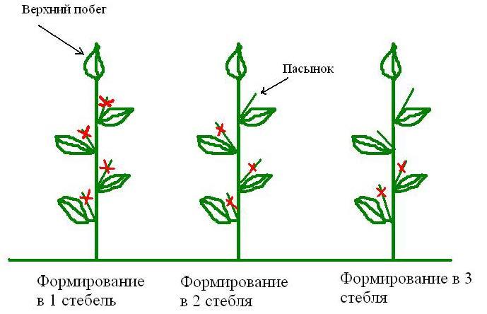 После того как высота перца достигнет 15 сантиметров, срезают верхушечные почки. В итоге образуются боковые ветви и получается кустик. Чем больше будет боковых отростков, тем большее число плодов получится с растения