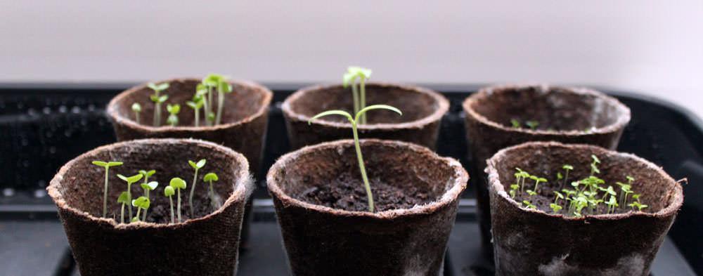 Семена клубники всегда прорастают только на свету