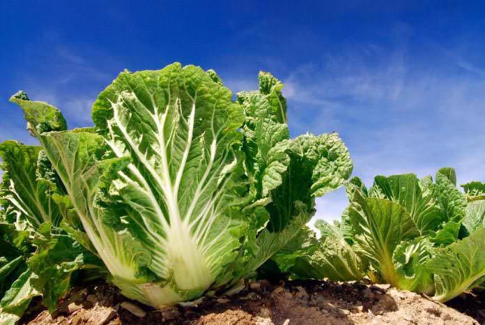 Китайскую капусту можно выращивать при любых погодных условиях