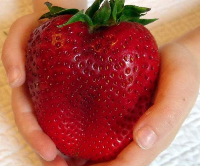 Сорта клубники, плодоносящие один раз в год, отличаются крупноплодностью и хорошими внешними показателями