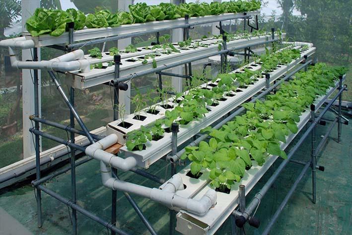 Простейшая гидропонная установка монтируется в теплицах. Именно поэтому растения не заражаются болезнями и не страдают от насекомых