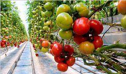 Высаживать томаты лучше в теплице